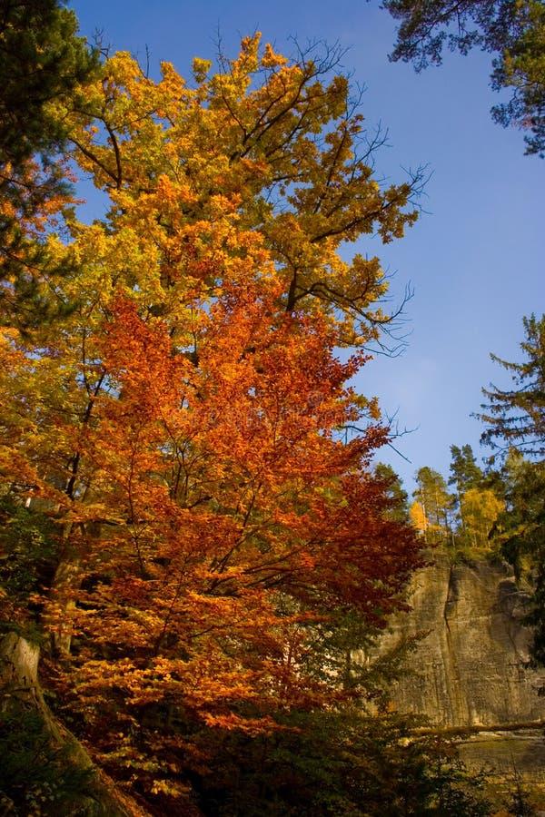 jesień koloru drzewo obrazy royalty free