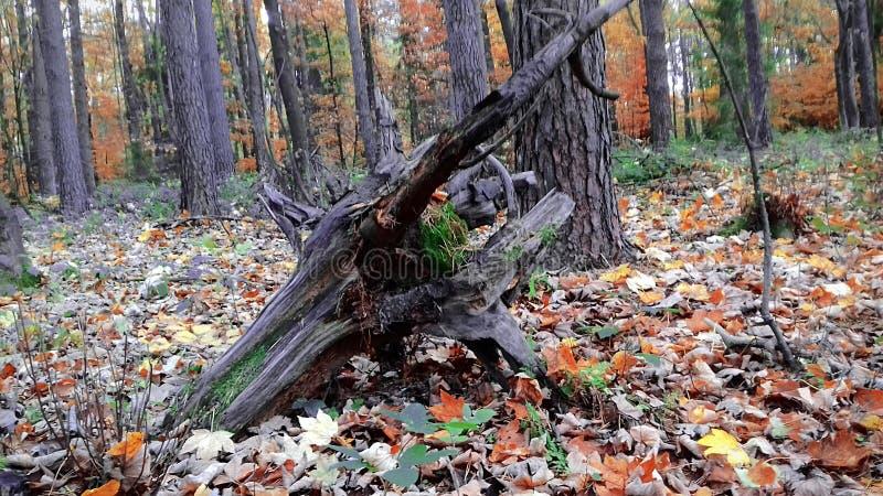 Jesień kolory stare drzewo Lasowa natura Żółci liście, zielona trawa obraz royalty free