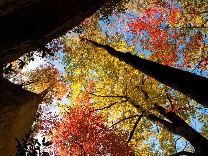 jesień koronuje drzewa fotografia royalty free