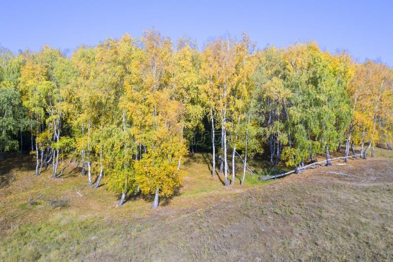 Jesień krajobraz, brzozy drzewa las fotografia stock