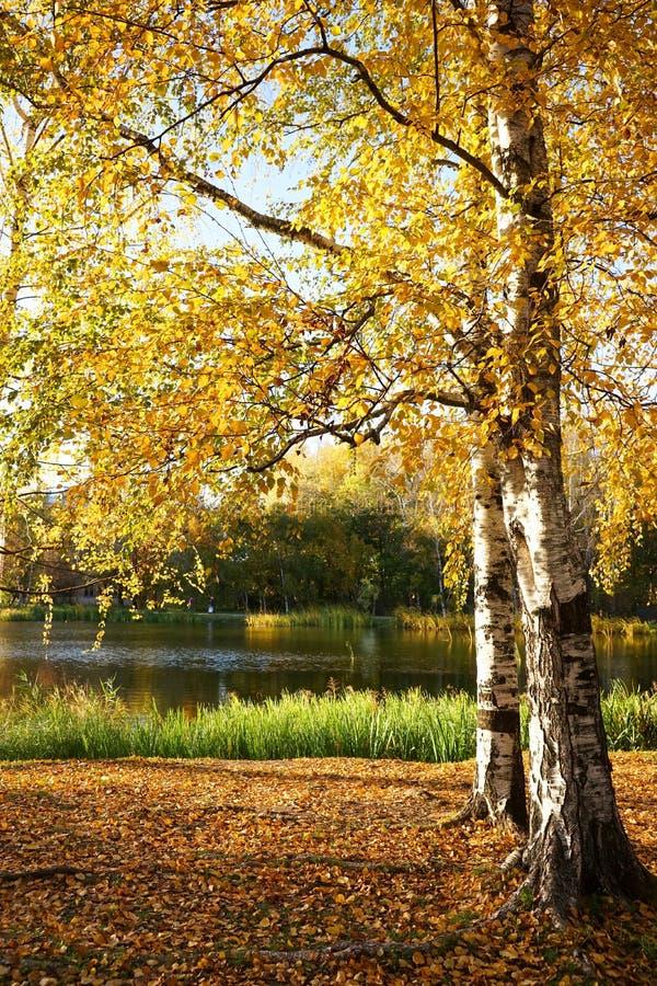 Jesień krajobraz, brzozy z kolorem żółtym fotografia stock
