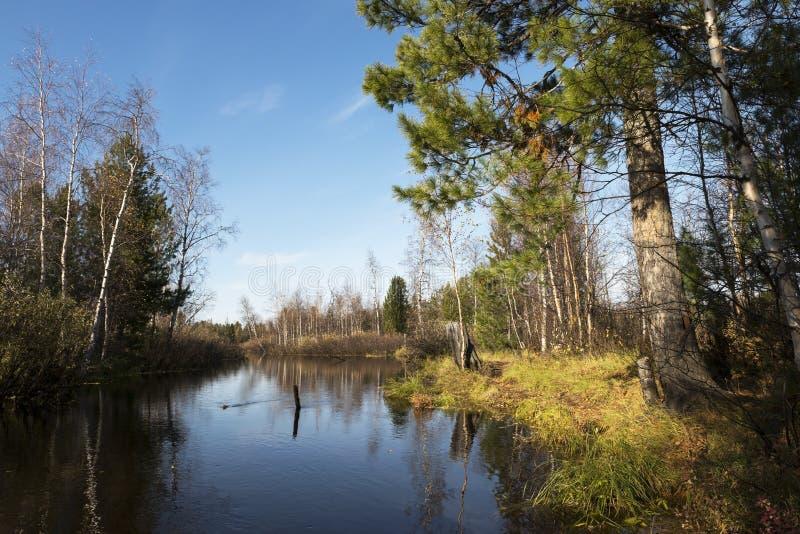 Jesień krajobraz rzeka i drzewa w północnym Rosja obraz royalty free
