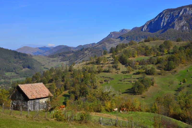 Jesień krajobraz z dom na wsi, krowami i górami przy odległością w Rumunia, obraz stock