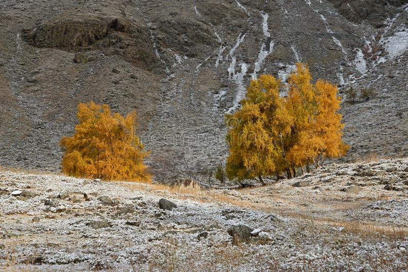 Jesień krajobraz Z grupą brzozy Z Jaskrawym Żółtym ulistnieniem I Świeżo Spadać śniegiem Na trawie Halny jesień krajobrazu dowcip fotografia royalty free