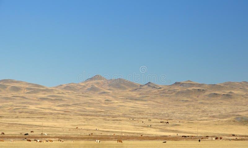 Jesień krajobraz z krowy na gładkich wzgórzach zakrywających z żółtą suchą trawą pod zmrokiem - niebieskie niebo zdjęcie stock