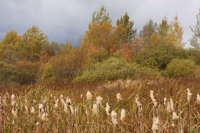Jesień krajobraz z ożypałki Typha latifolia w foregr obraz stock