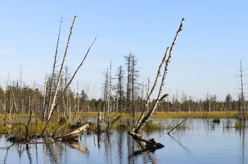 Jesień krajobrazu bagna w północnym Rosja obraz royalty free
