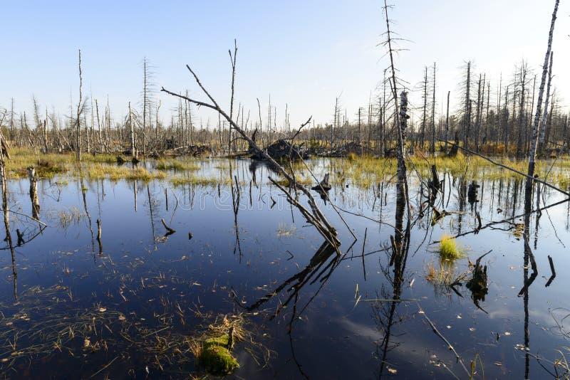 Jesień krajobrazu bagna w północnym Rosja zdjęcie stock