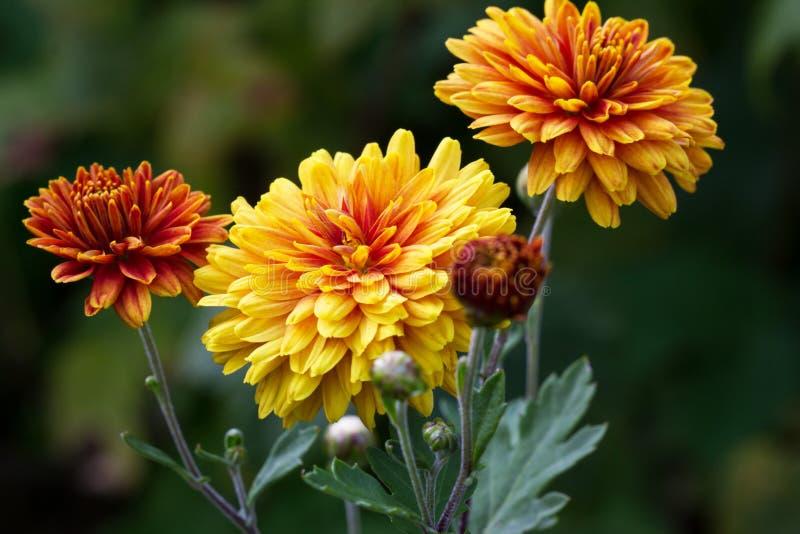 Jesień kwiat obraz royalty free