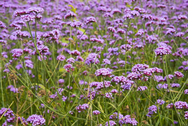 Jesień kwiaty, purpurowy Verbena bonariensis zdjęcia royalty free