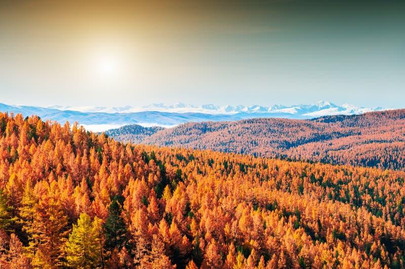 Jesień las i śnieżyste góry w Altai, Syberia, Rosja obraz royalty free