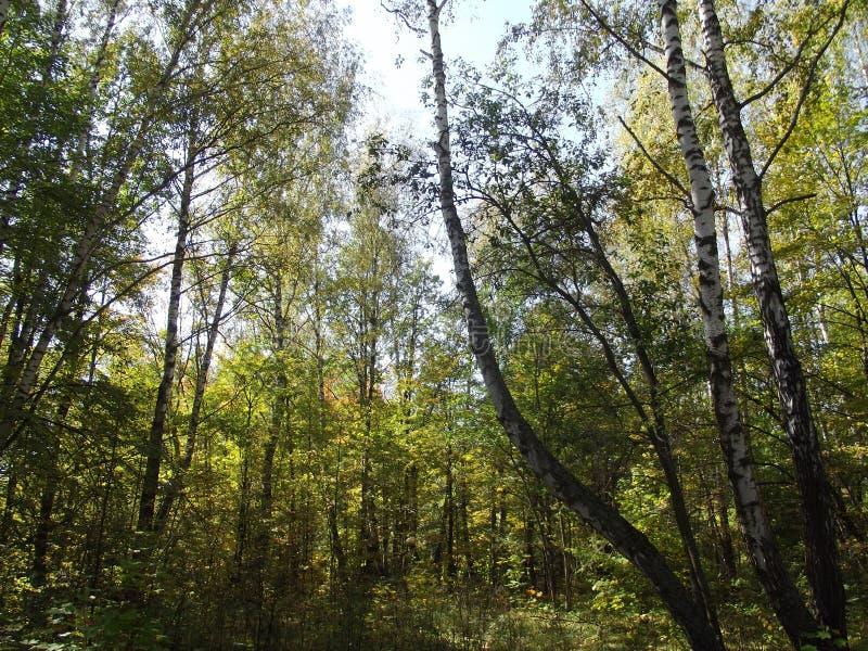 Jesień las przerastający, sunlighted przez słońca obraz stock