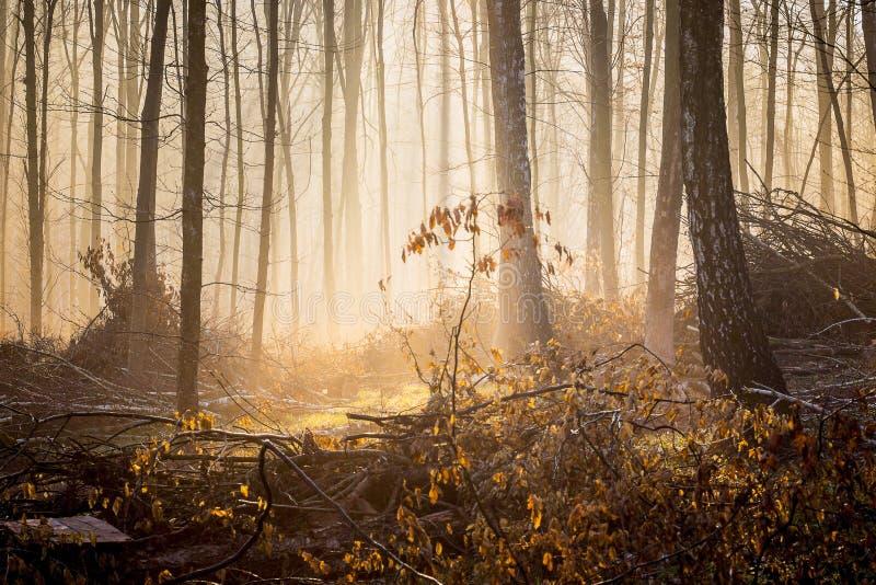 Jesień las w ranku w mglistej pogodzie Światło słoneczne penetruje przez mgły w woods_ obrazy royalty free