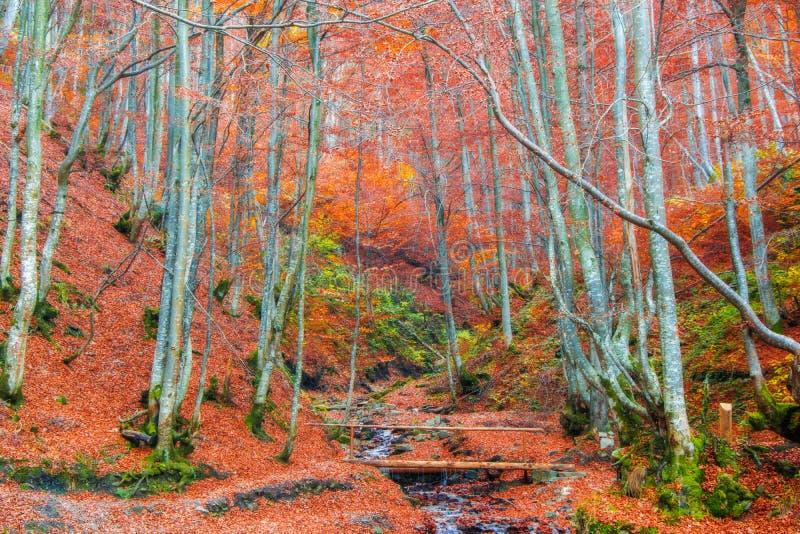 Jesień las z czerwonymi bukowymi drzewami obraz royalty free