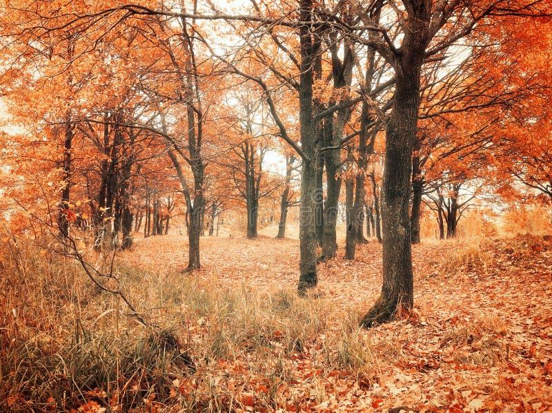 Jesień las z spadać jesień dębu liśćmi Jesień barwił krajobrazowego - dębowy las w jesień chmurnym dniu obrazy stock