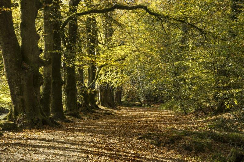 Jesień lasu ścieżka, golitha, Cornwall, uk fotografia royalty free