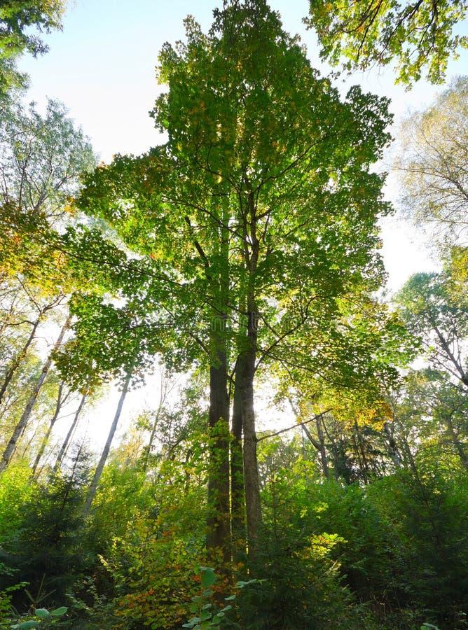 jesień lasu dąb zdjęcia stock