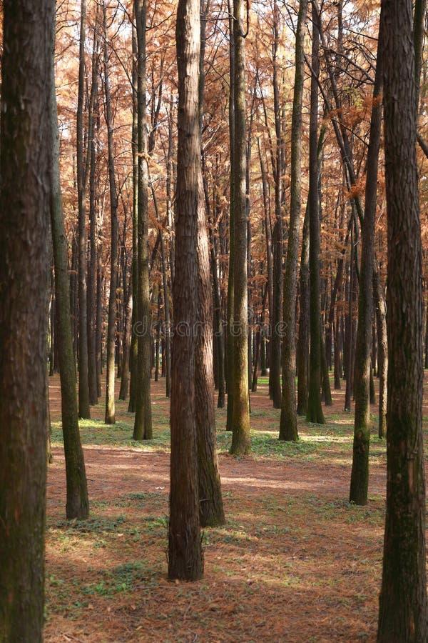 Jesień lasu drzewa natury światła słonecznego żółci drewniani tła obrazy stock
