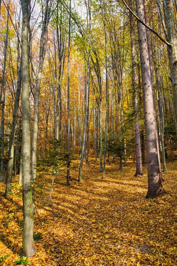 Jesień lasu scena zdjęcie stock