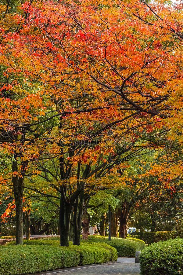 Jesień Laves przy Hiroszima central park w Japonia obrazy royalty free