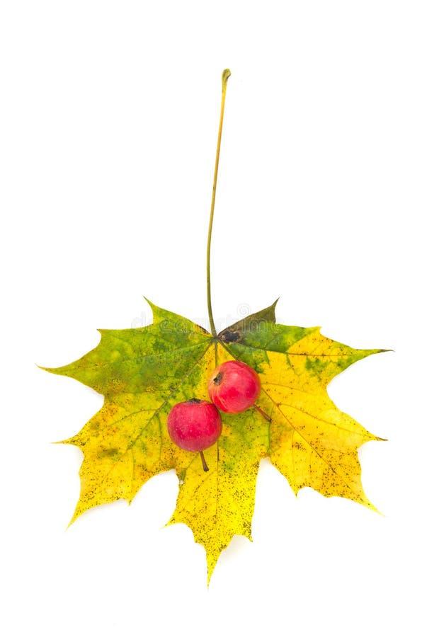 Jesień liść klonowy i dwa czerwonego małego jabłka odizolowywających obraz stock