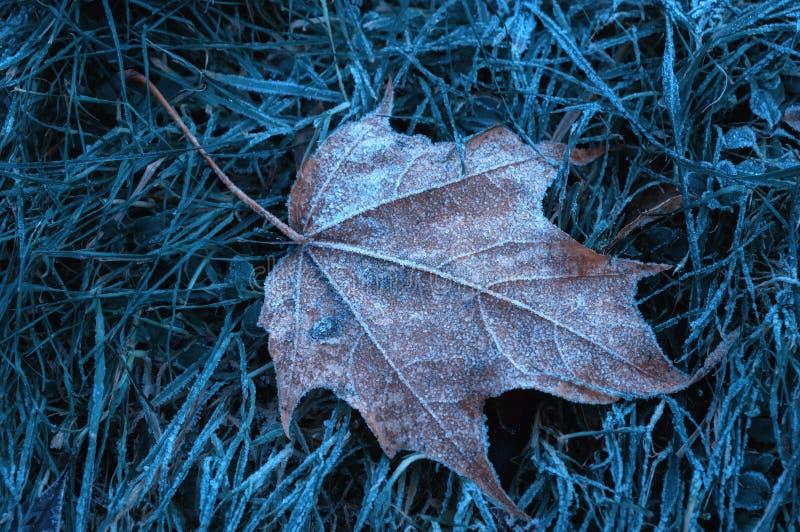 Jesień liść klonowy zakrywający z białą mrozową jesień Listopadu natury sceną z jesień liściem zdjęcia royalty free