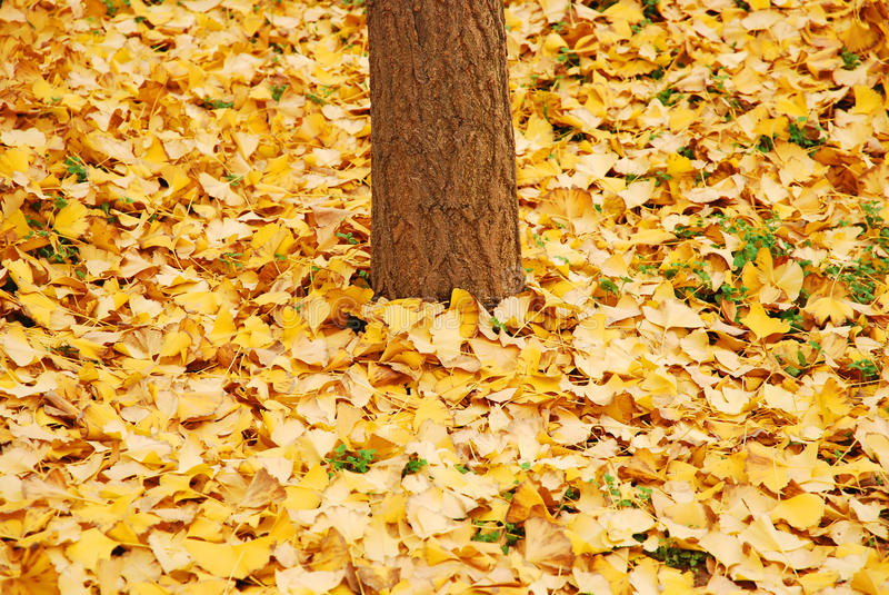 jesień liść kolor żółty obrazy royalty free