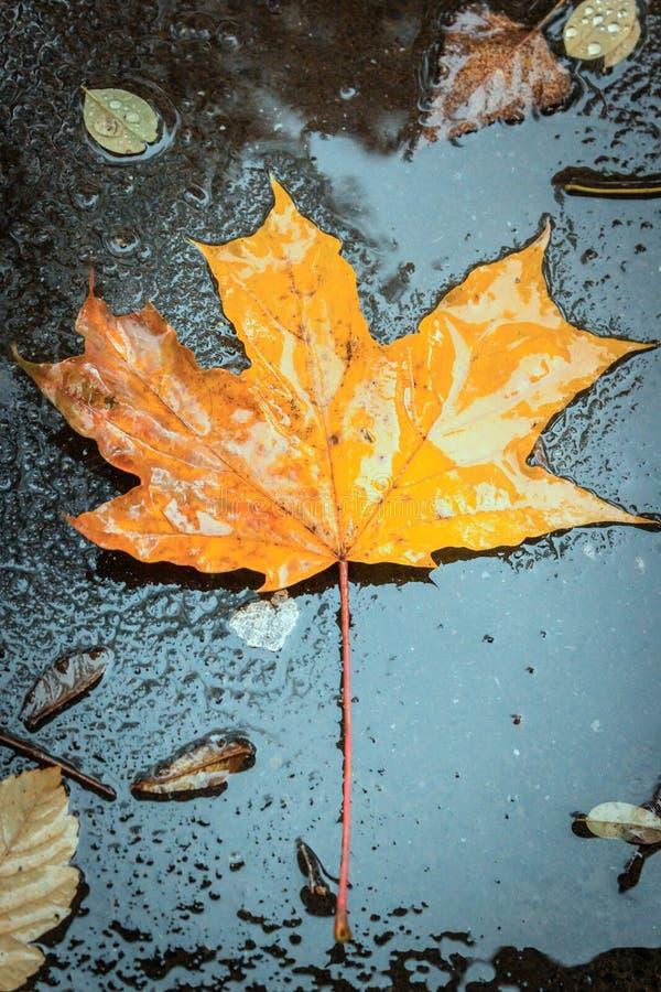 Jesień liść w deszczu fotografia stock