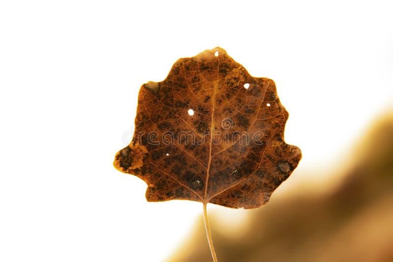Jesień liść w wysokość kluczu obrazy stock