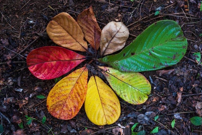 Jesień liścia klonowego przemiana i różnicy pojęcie dla spadku i zmiany sezon fotografia stock