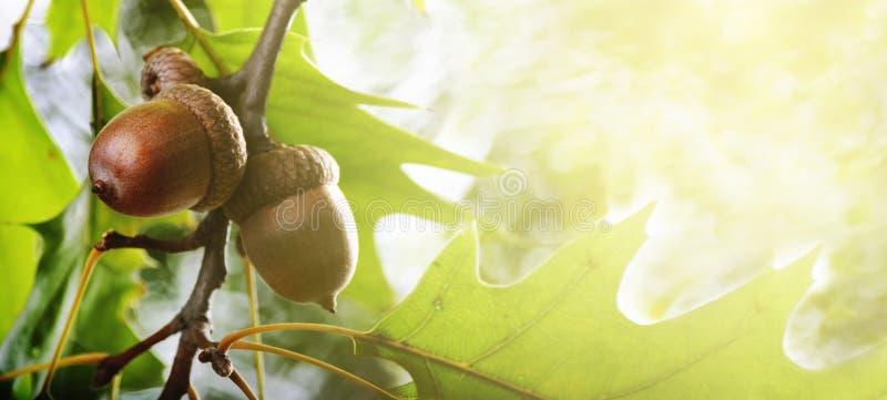 Jesień liście i acorn tło obrazy royalty free