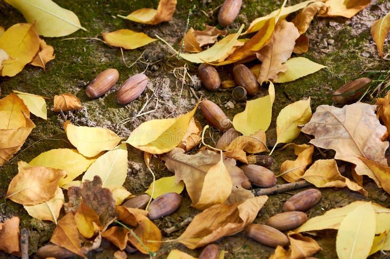 Jesień liście i acorns na ziemi fotografia stock