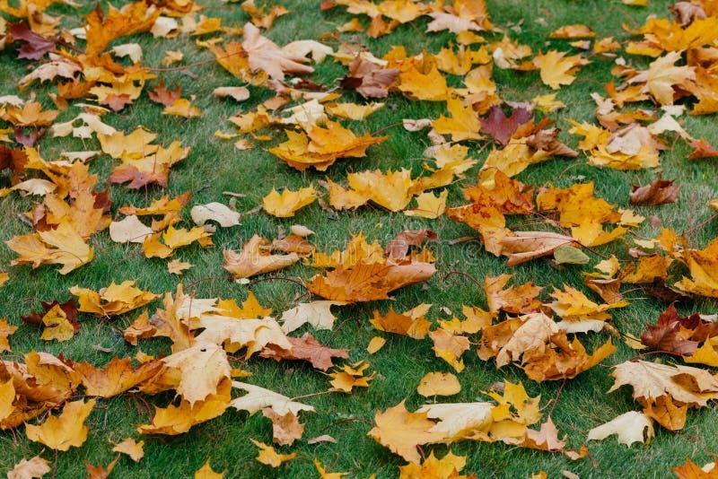 Jesień liście klonowi dywanowi Zielona trawa zakrywająca z spadać ulistnieniem podczas ładnego sezonu Horyzontalny strzał Żółci i fotografia royalty free