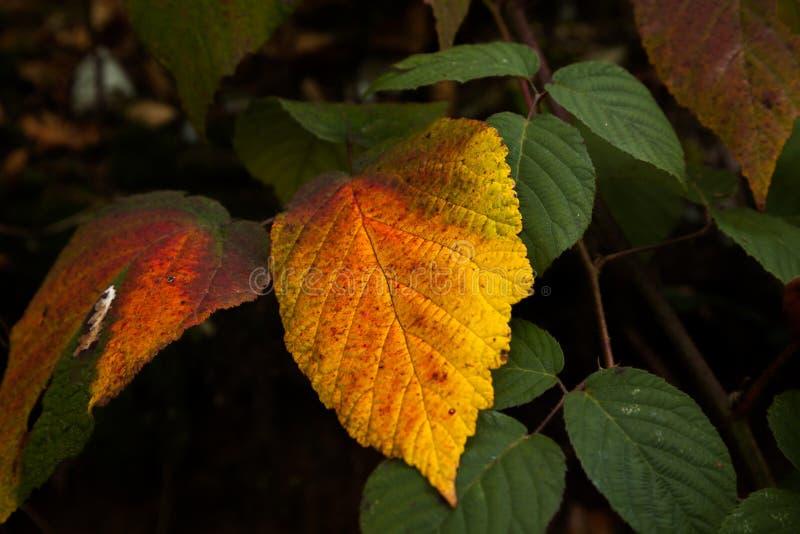 Jesień liście - uwydatniający kolory fotografia royalty free