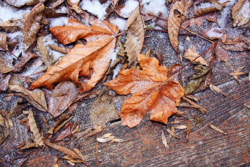 Jesień liście z mrozem fotografia stock