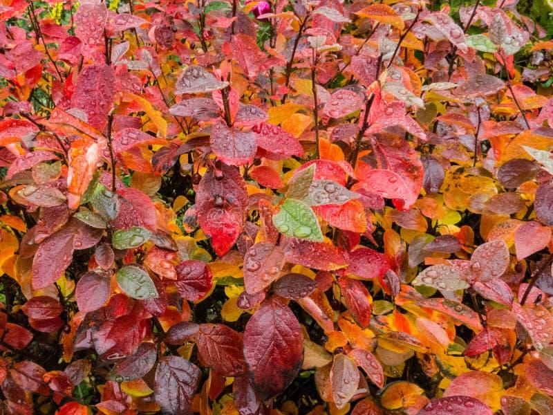 Jesień liście z podeszczowymi kroplami zdjęcia royalty free