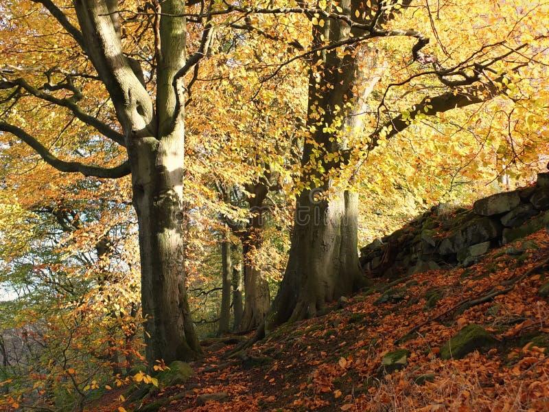 Jesień nasłoneczniony las z dwa gigantycznymi bukowymi drzewami w spadków colours fotografia stock