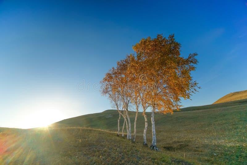 Jesień obszar trawiasty spadek biała brzoza, zmierzch zdjęcie royalty free