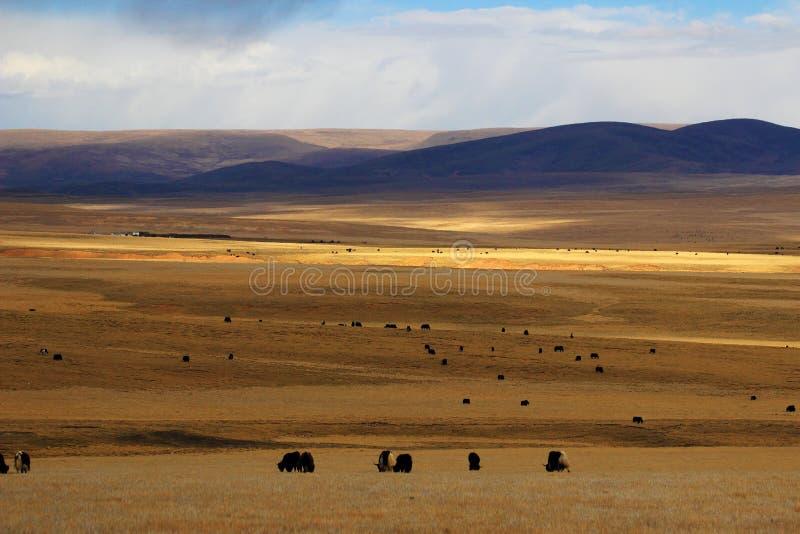Jesień obszar trawiasty w Naqu regionie Tybet obrazy royalty free