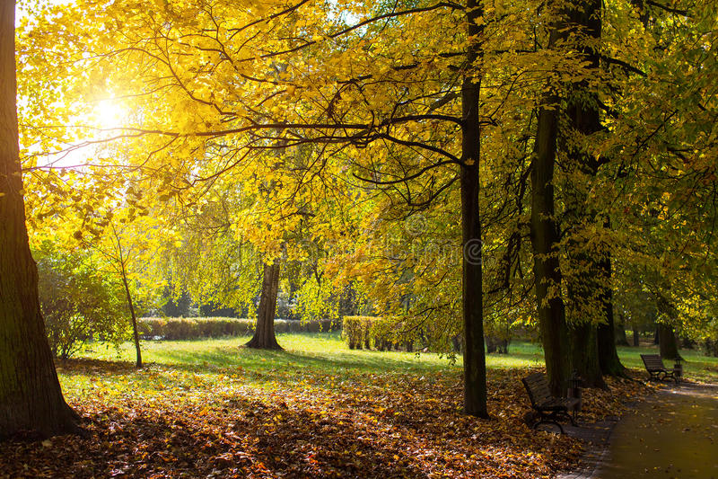 Jesień park z kolorem żółtym opuszcza w promieniach słońce Natura fotografia royalty free