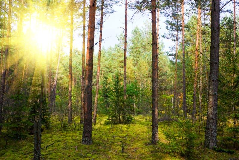 jesień pinewood zdjęcie stock
