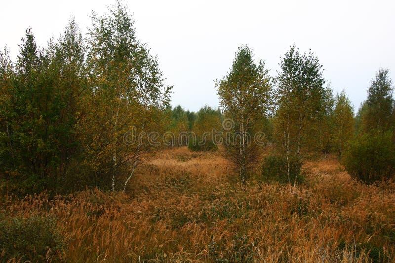 Jesień ranek Brzozy wśród suchej trawy obraz stock