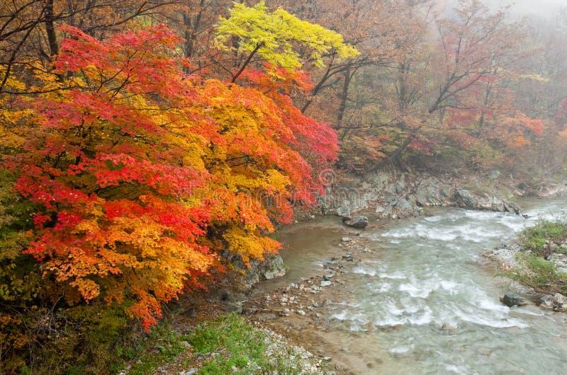jesień ranek lasowy mglisty zdjęcia royalty free