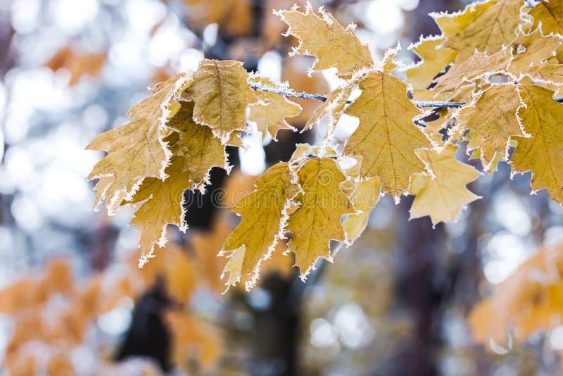 Jesień ranek z hoarfrost na liściach klonowych na gałąź zdjęcia royalty free