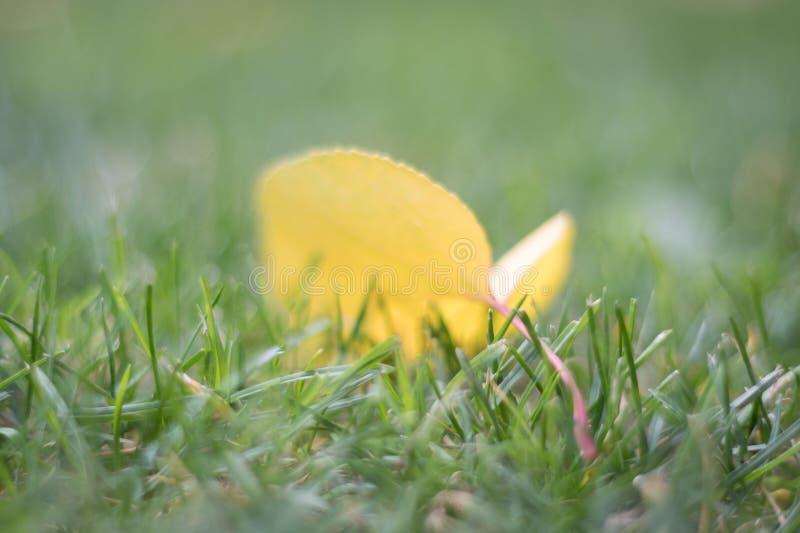 Jesień Spadać Żółty liść w trawie zdjęcie royalty free