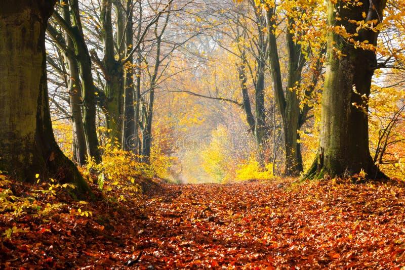 Jesień, spadek lasowa czerwień ścieżka opuszcza w kierunku światła zdjęcie stock