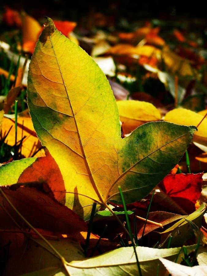 Jesień spadek opuszczać klonu