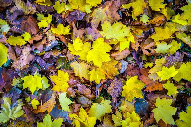 jesień spadek ulistnienia złoty klonowego drzewa kolor żółty zdjęcia royalty free