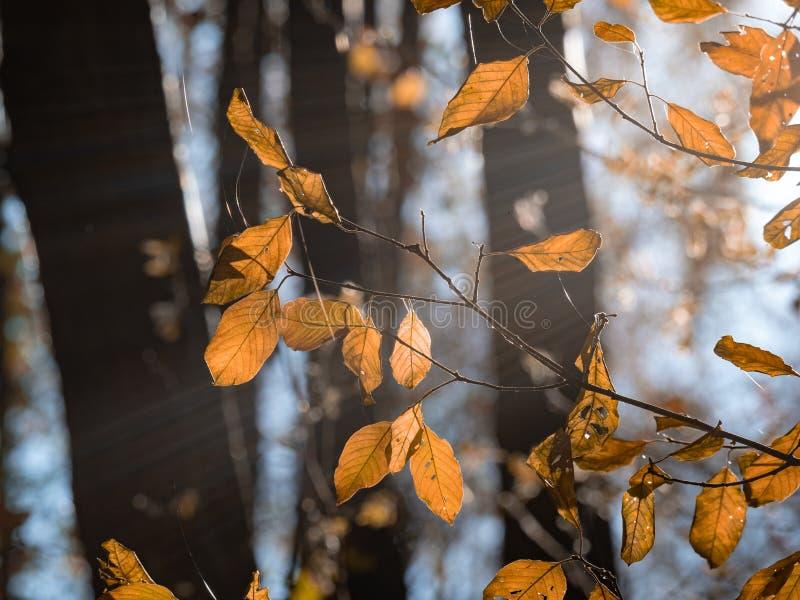 Jesień spadki backlighted liście zamykają w górę ciemnego tła na zdjęcia royalty free