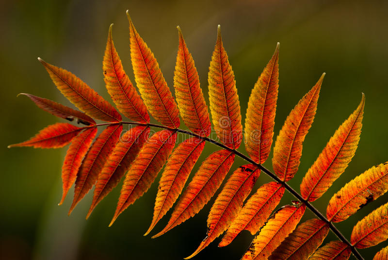 Jesień sumaki fotografia stock